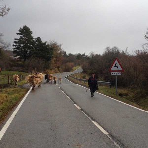 Farmer and cattle in Pyrenees on bicycle tours in Spain